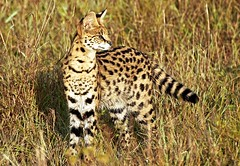 Serval on the Hunt (Picture Taker 2) Tags: africa morning nature beautiful animal animals closeup cat sunrise outdoors colorful pretty native wildlife bigcat hunter curious unusual wilderness predator upclose serval masaimara wildanimals africaanimals masimarakenya naturewatcher flickrbigcats