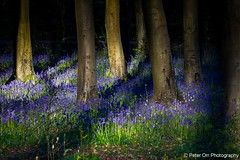 Bluebells at West Woods VI - Explored #145 (peter orr photography) Tags: uk trees england bluebells flora objects wiltshire beech locations wildplants fagussylvatica westwoods hyacinthoidesnonscripta 522012week18