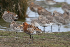 Black Tailed Godwit - Oare Marsh (mikehook51) Tags: uk summer england birds kent spring tide ne common tidal waders wetland swale blacktailedgodwit oaremarsh canoneos7d eastflood oaremarshnnr