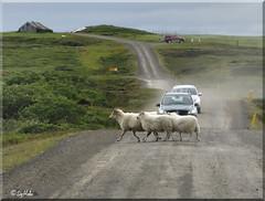 Icelandic Roads (Sig Holm) Tags: road island iceland islandia august sheeps sland kindur islande icelandic islanda 2011 landslag ijsland landslagsmyndir islanti  icelandiclandscape    slenskt vegir sauf slensktlandslag        noruringeyjarssla