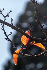 105IMG_1617.jpg (A Different Perspective) Tags: autumn newzealand orange plant gardens leaf branch dunedin botanic