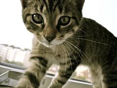 DSC05891.JPG (Davidshansen+) Tags: pet cute cat kat chat pussy gato katze   puss mis gatto figaro  huisdier pussycat haustier   kucing pusa    cattus animaldeestimao  missekat     conmo