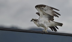 Taking Flight (Lori-B.) Tags: canada wings britishcolumbia cable penticton osprey birdofprey talons hookedbeak