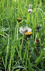 Wiese im Morgentau (lilith-eve-) Tags: wiese tautropfen lwenzahn pusteblume wildblumen