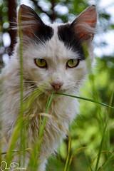 Cat (Omar Derkaoui) Tags: cat chat yeux