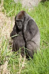 2012-05-17-09h55m48.272P6014 (A.J. Haverkamp) Tags: zoo rotterdam blijdorp gorilla dierentuin diergaardeblijdorp tamani westelijkelaaglandgorilla httpwwwdiergaardeblijdorpnl canonef100400mmf4556lisusmlens pobapeldoornthenetherlands dob13031993
