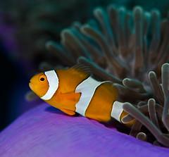 fclown9412 (gerb) Tags: orange topv111 1025fav 510fav nice topv555 underwater purple scuba fv5 anemone fins anemonefish similan tvp aquatica 105mmf28micro d7000