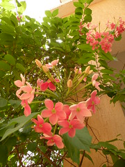rangoon creeper (Mink) Tags: garden flora chinese produce kuwait honeysuckle blooms creeper mygarden kuwaiti rangoon indica ياسمين هندي quisqualis