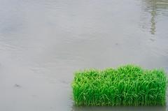 Space to be filled with (maida0922) Tags: kyoto rice paddy nursery 京都 k5 田植え kitasaga da70mmf24ltd 北嵯峨 苗代
