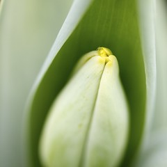 Biophilia (Lumase) Tags: flower macro square poetry tulip closer plath biophilia