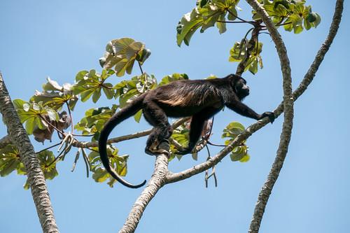 Howler monkey I