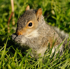 Baby Squirrel (NikonJim) Tags: baby squirrel explore d300 easterngraysquirrel explored 300mmf4d specanimal nikonjim