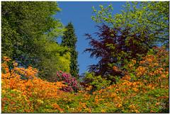 A riot of colour (Maria-H) Tags: park england garden spring cheshire unitedkingdom panasonic ek azalea tatton knutsford rhododendrons gh2 14140 dmcgh2