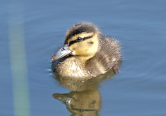 Out for a Duck (Mr Grimesdale) Tags: cute duck duckling mallard britishbirds stevewallace mrgrimesdale