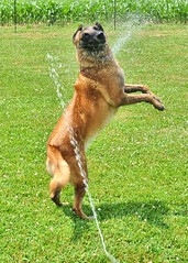 Goofy face (Scoutdogs (Chris)) Tags: dog water yard fun athletic amazing jumping action working sprinkler belgian malinois active energetic