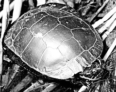 Ali's Turtle, Up Close and Personal (#1386) (protophotogsl) Tags: blackandwhite bw water closeup river spring noiretblanc turtle may gritty ncc bog tortue nationalcapitalcommission merbleuebog protophotogsl dolmanroad picmonkey 155crop2bwgritty