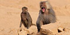 Baboons of Little Africa (cliffordjol) Tags: baboons ksa