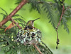 Hummingbird in the Nest (Peggy Collins) Tags: interestingness bravo hummingbird britishcolumbia mother explore cedar lichen motherhood sunshinecoast cedartree rufoushummingbird hummingbirdnest featheryfriday nestingbird birdinnest peggycollins