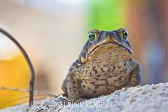 Beach Toad (AlpineEdge) Tags: light beach animal standing island still intense eyes looking bokeh amphibian toad tropical stare barbados caribbean ribbit snad trog faceon