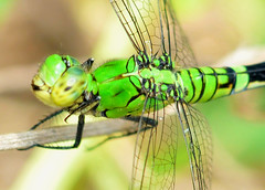 Eastern Pondhawk Female (Erythemis simplicicollis) (jwinfred) Tags: macro nature mississippi nikon sigma insects delta 300mm cypress preserve greenville f4 d300