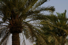 Palm Leaves (Keith Mac Uidhir  (Thanks for 3m views)) Tags: trees plant green leaves asian asia palm east corniche middle tp doha qatar catar  katar    qatari      dauha   addawa     dauh