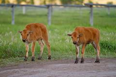 "Wild, twin bison calves (IronRodArt - Royce Bair (""Star Shooter"")) Tags: baby cute animals mammal twins buffalo american calf bison calves grandtetonnationalpark babyanimal babyanimals americanbuffalo americanbision"