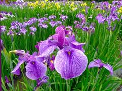 Iris Rainy Day (love_child_kyoto) Tags: iris summer flower macro nature kyoto colorful rainyday gardening  myfa