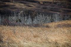 White Trees in a Line CE1 (hunter20ga) Tags: march nd prairie gitzotripod nikond4 rrsbh40