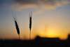 Sunset Spring (isaacbuenobadiola) Tags: sunset sky cloud primavera sol azul contraluz spring nikon bokeh cielo nubes puestadesol f18 spikes horizonte trigo espigas horaazul d700 nikond700