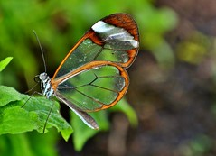 Glasswinged Butterfly (Paula J James) Tags: closeup insect butterflies insects glasswingbutterfly glasswingedbutterflies glasswingedbutterfly
