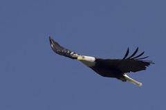 Bald Eagle 2 2014 (photosbygar) Tags: blue sky flying bald columbia pentaxart eaglescanadabritish