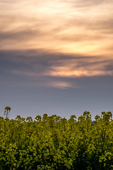 Rapeseed Sunset (Neal_T) Tags: uk flowers sunset sky field yellow clouds spring fuji farming norfolk norwich oil fujifilm wayland rapeseed watton xt1 rapeseedoil scoulton
