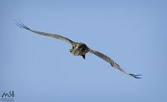 Muladar FAB Santa Cilia del Panzano. Marzo 2016_6 (MSB.Photography) Tags: bird nature animals nikon p900 coolpix guara quebrantahuesos beardedvulture gypaetusbarbatus