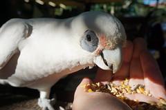 Little (short bill) Corella (Paradise Photos) Tags: nature fauna wildlife currawong kookaburra corella wildbird a6000 1650mmkitlens sonya6000 sonya6000with1650mmkitlens wildlifeinnerang wildlifeinqueensland