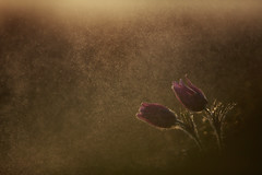 Pasque Flowers (Daniel Trim) Tags: sunset plants plant flower nature sunrise easter spring common pasqueflower pasque vulgaris pulsatilla wildife therfield