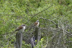 Red-backed Shrike (Al Abbasi) Tags: shrike redbacked