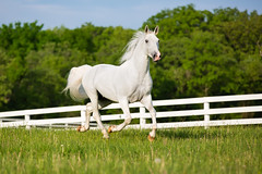 Keeping One Eye on Me (jeff_a_goldberg) Tags: horse us illinois spring unitedstates equestrian lipizzan oldmillcreek lipizzans tempelfarms lipizzanstallion thetempellippzans