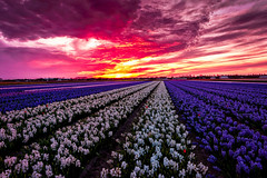 Sunset over the fields (angheloflores) Tags: world travel flowers sunset sky holland colors clouds landscape explore fields keukenhof