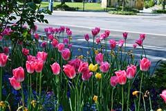 DSC_0016 (zeenat_sumra) Tags: pink flowers red roses flower castle heritage history rose germany garden deutschland spring nikon tulips may rosa palace unesco mai tulip schloss potsdam brandenburg garten frühling sansoucci tulpen tulpe fruehling historiche