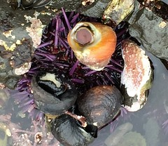 Sea urchin is  camouflaged with live snails (rocksandstones) Tags: sea beach is moss with live urchin snails tidepools camouflaged