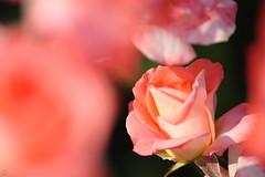 20160522-D7-DS7_2265.jpg (d3_plus) Tags: park street sky plant flower nature japan garden walking drive tokyo nikon scenery bokeh fine daily bloom   nikkor   kanagawa   dailyphoto touring     thesedays  fineday  jindaiji          d700 kanagawapref nikond700