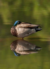 Birds-97.jpg (Mallard) Duck Dreams vertical (luc_pic) Tags: duck pond sleep mallard