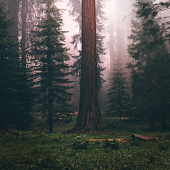 Nestled in the clouds (shaina_n) Tags: california park pink trees camp cloud green nature fog clouds canon giant square nationalpark pastel national mystical magical sequoia sherman giantsequoia generalsherman gianttrees nationalparkcentennial