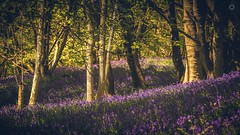 Purple Haze (Augmented Reality Images (Getty Contributor)) Tags: flowers trees light shadow nature sunshine bluebells forest canon landscape scotland spring perthshire glen hdr dunning leefilters bracketexposure