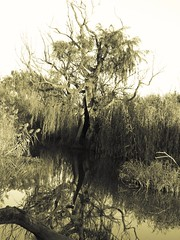 A magnificent tree with a silhouette of a flying bird in its heart. (Ilana Uys) Tags: reflection tree bird nature water monochrome silhouette flying big antique large magnificent rietvleinaturereserve