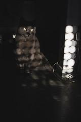 Pelusheen II (Pan ) Tags: light shadow portrait luz home animal cat dark grey gris casa eyes retrato sombra ojos gato felino mirada gaze oscuro