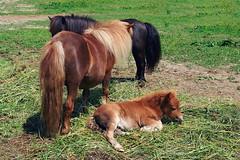 Ponys (welenna) Tags: animals tiere pony fohlen