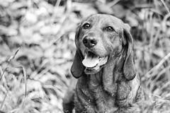 Jingle (ChAape) Tags: dog metz blackandwhite basset
