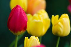 tulipanes (Juan Ig. Llana) Tags: flores planta primavera rojo plantas flor colores amarillo zb euskadi brillante jardnbotnico lava tulipn tulipanes santacatalina trespuentes tamronsp180adaptall2