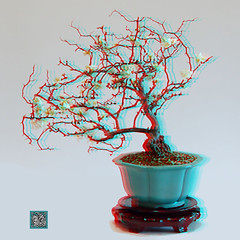 ana6.0 white on light contorted white flowering quince (fredtruck) Tags: bonsai chaenomeles chinesecontainer contortedwhitefloweringquince
